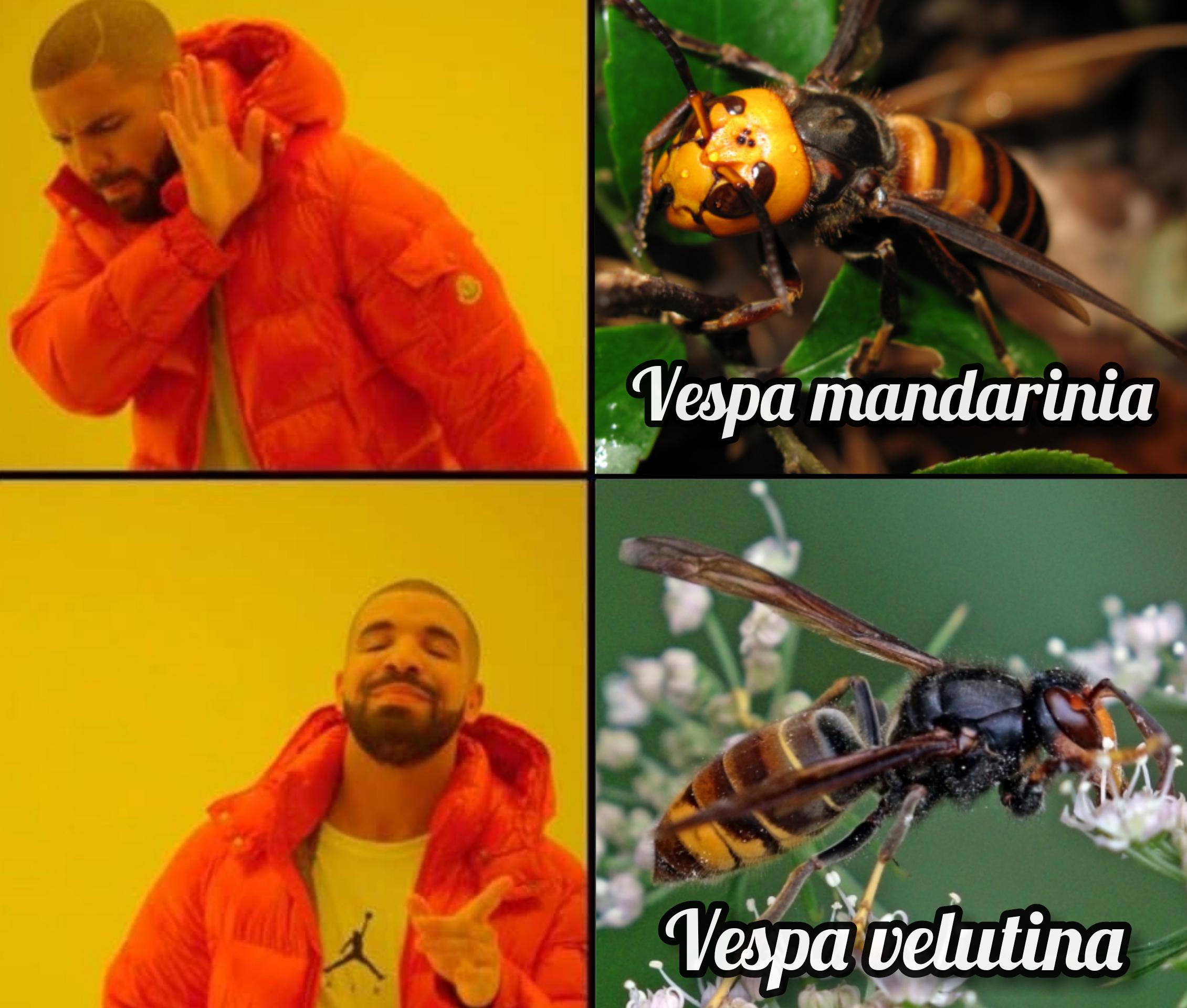 Meme Calabrone killer