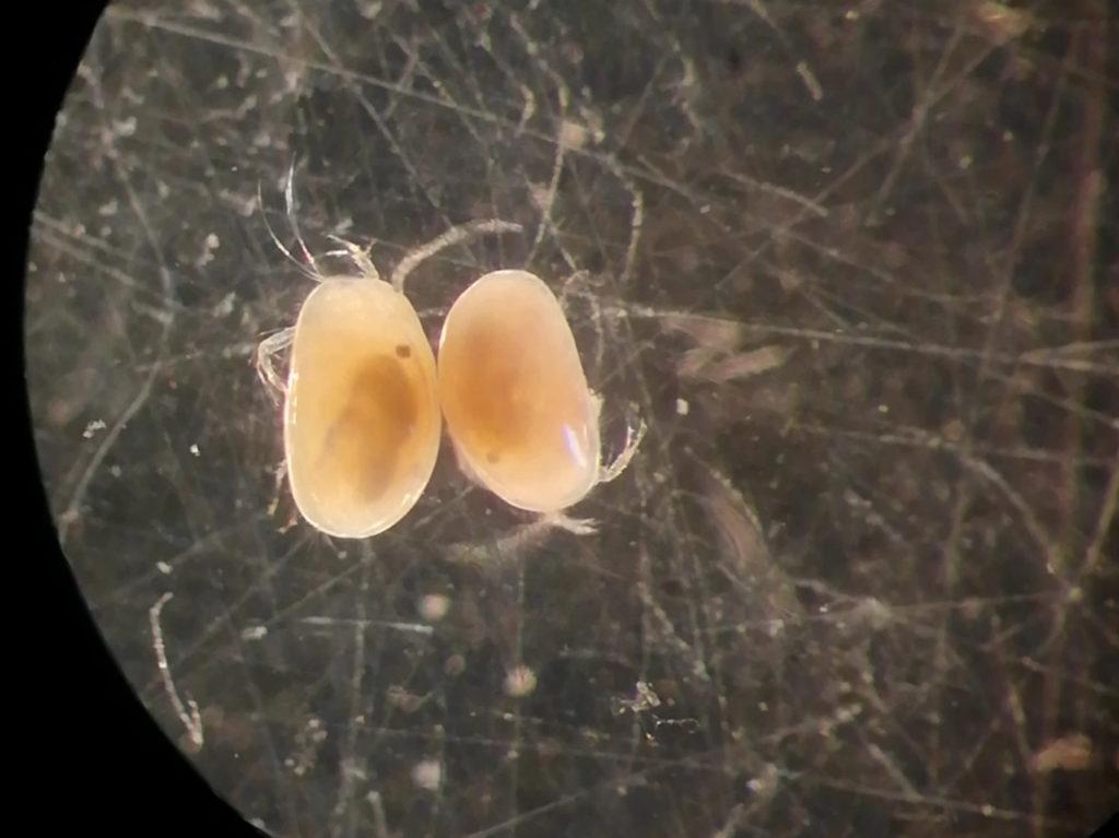 Arthropoda, allevamento, crustacea bostracodi
